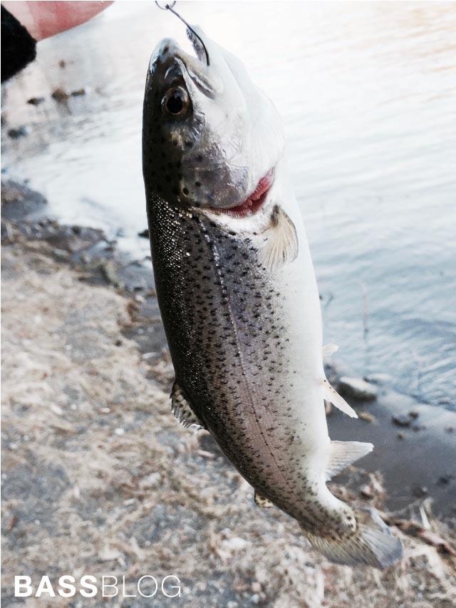 河口湖のニジマス釣り